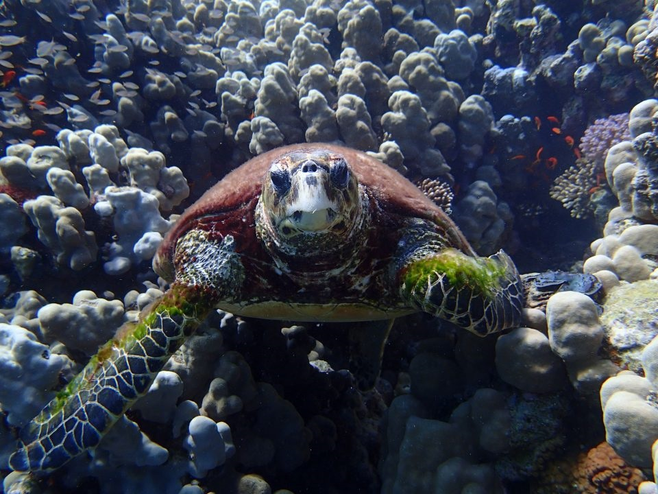 Turtle while Diving in Egypt