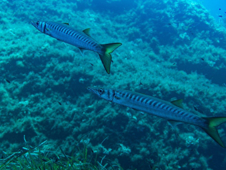Gallery-Barracudas-Malta-Diving