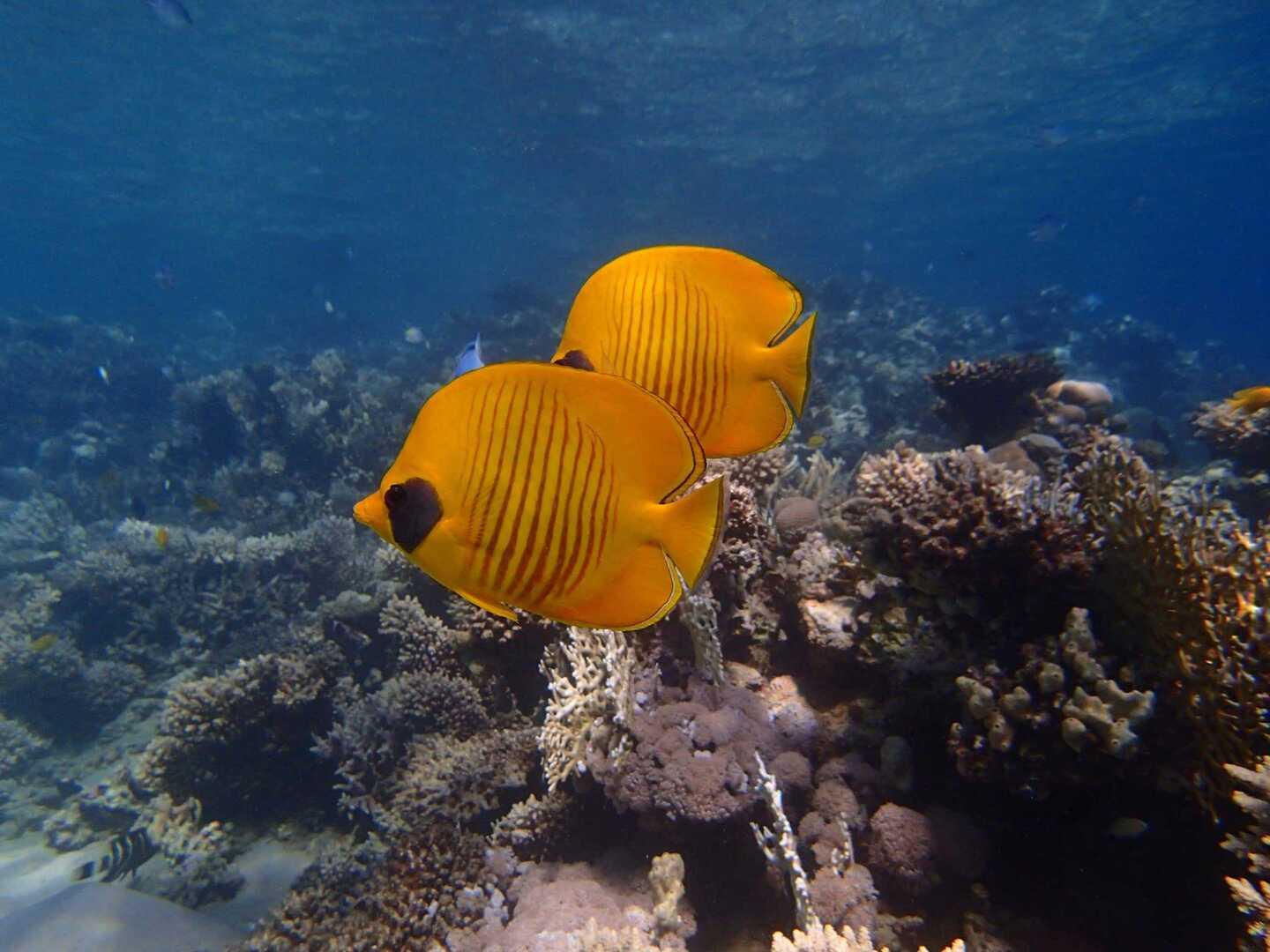 Gallery-Masked-Butterfly-Fish-Egypt-Diving