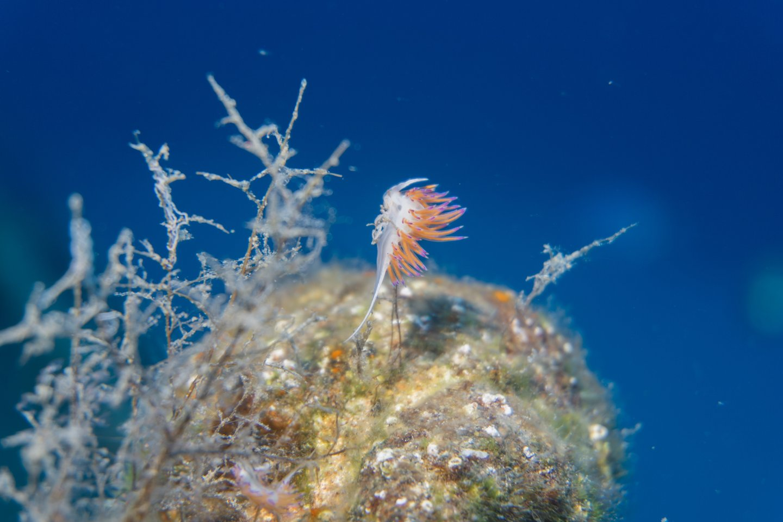 Nudibranch Malta