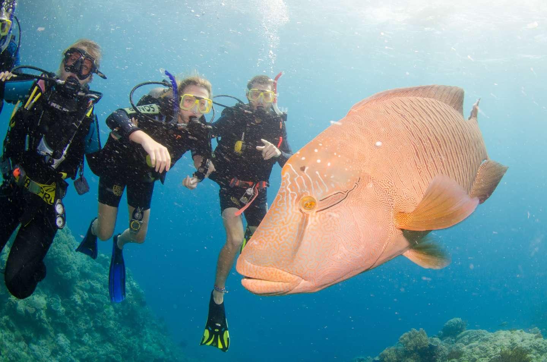 Napoleon Fish Australia